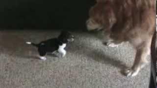 Golden Retriever Vs. Beagle Dog Fight
