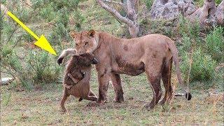 Львица схватила обезьяну с маленьким детёнышем то что произошло дальше невероятно...