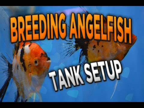 How To Breed Angelfish #2 (how To Set Up A Breeding Tank) #89