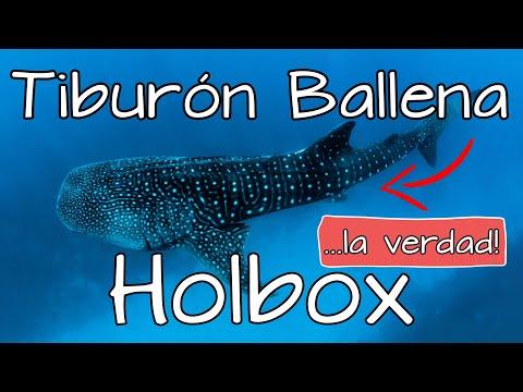 Tiburón Ballena Holbox Temporada 2021 🦈😁 Tienes que saber esto! 😱 Tour Tiburón Ballena Cancún! ✅❌