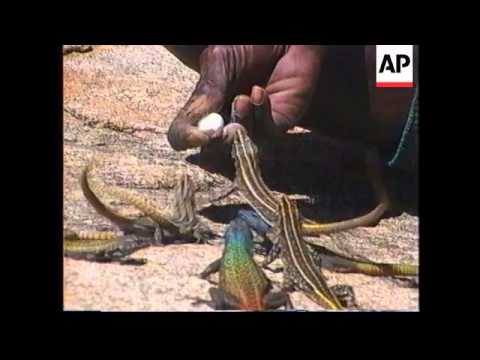ZIMBABWE: MALINDIZIMU: NATIONAL PARK LIZARD MAN