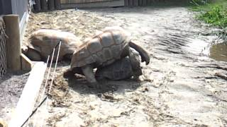 Zoo Granby - Very old tortoise having sex / Vieille tortue s'accouple