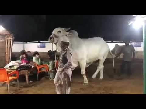1 Crore Most-Expensive Cow in World / Bakra Mandi Pakistan 2018 Lahore