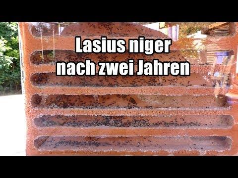 Lasius niger nach