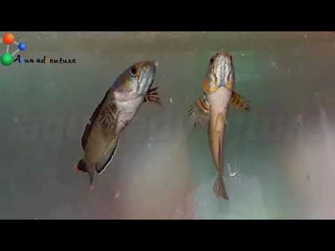 Best Aquarium Fish Species From India(7 Fishes From Indian Waters) Aqua Adventure