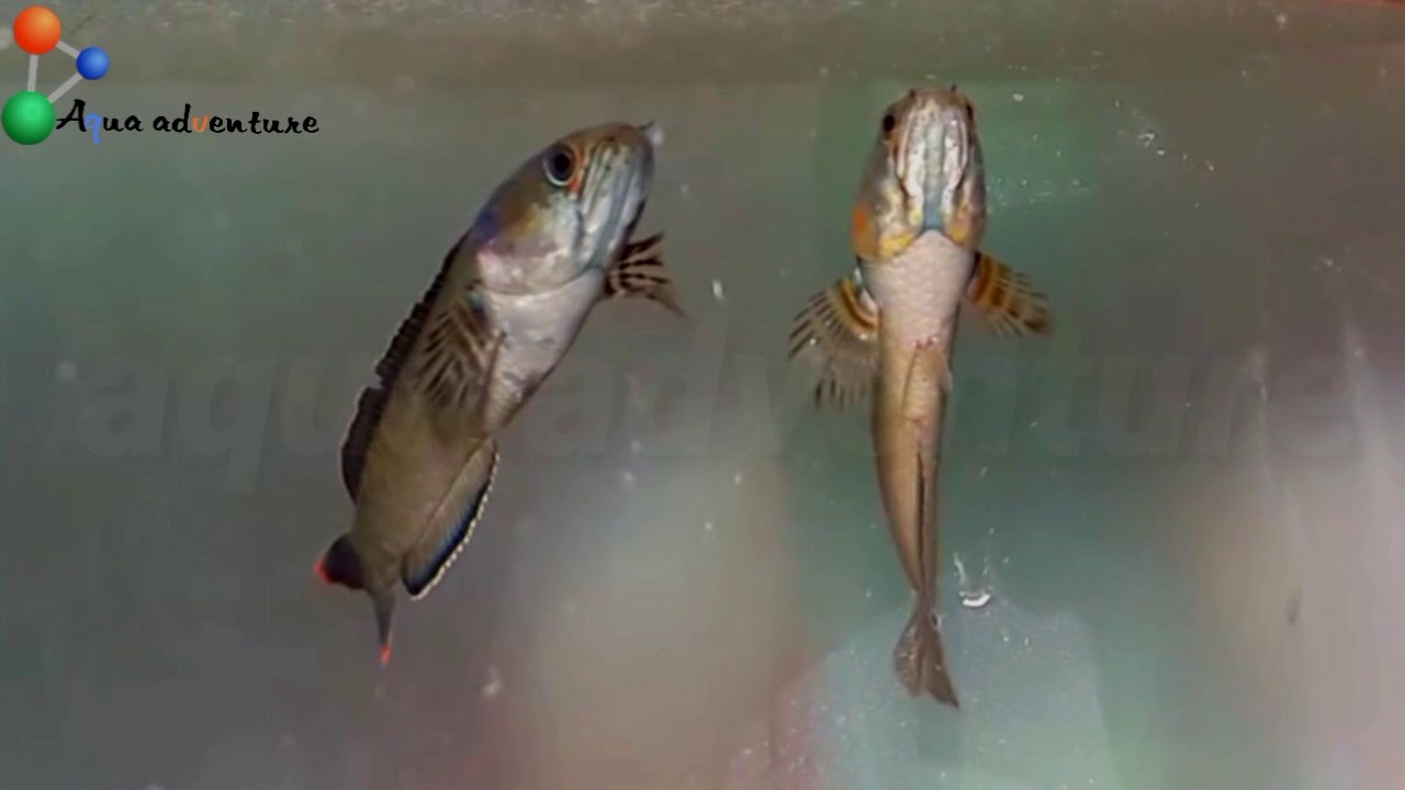 Best Aquarium Fish Species From India 7 Fishes From Indian Waters
