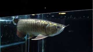 Malaysian Gold Blue Base Arowana - Wild Breed