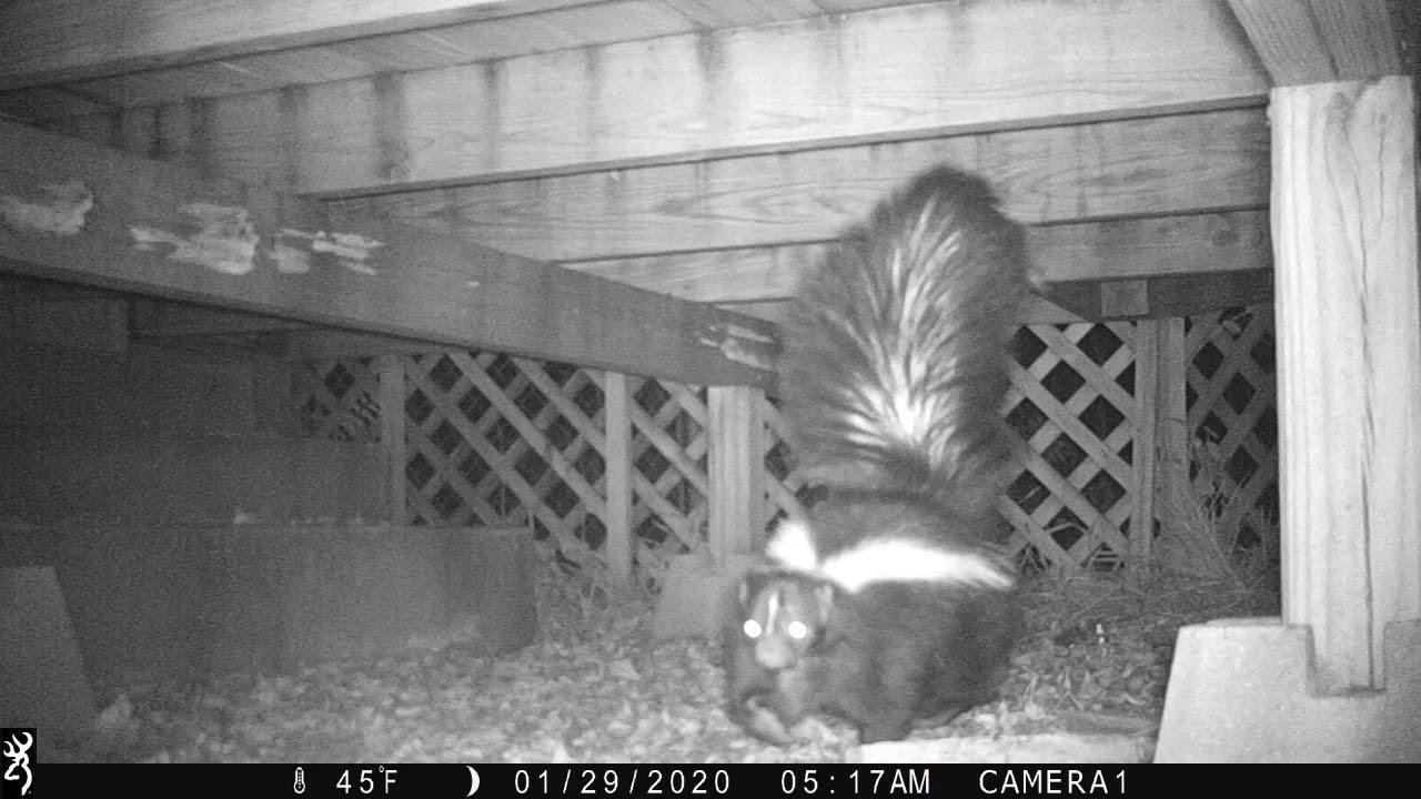 Skunk Under Deck Back Yard - YouTube