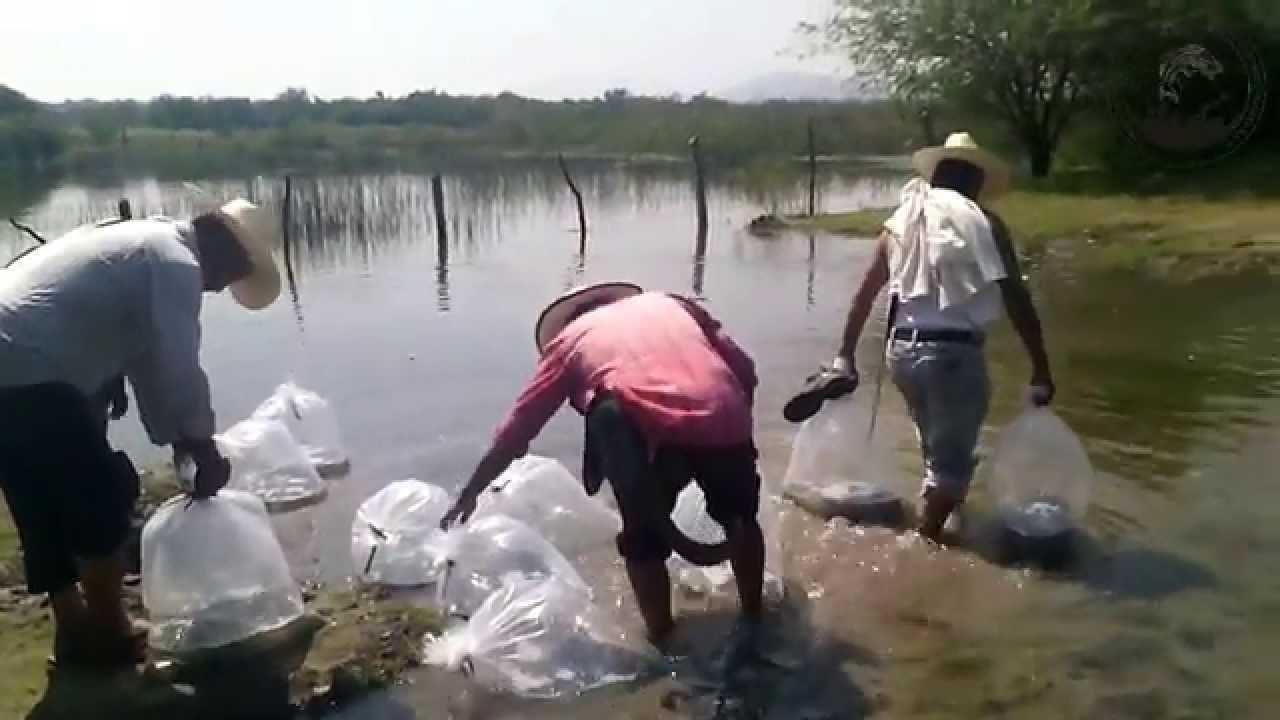Siembra de tilapia en laguna de coatetelco youtube for Densidad de siembra de tilapia