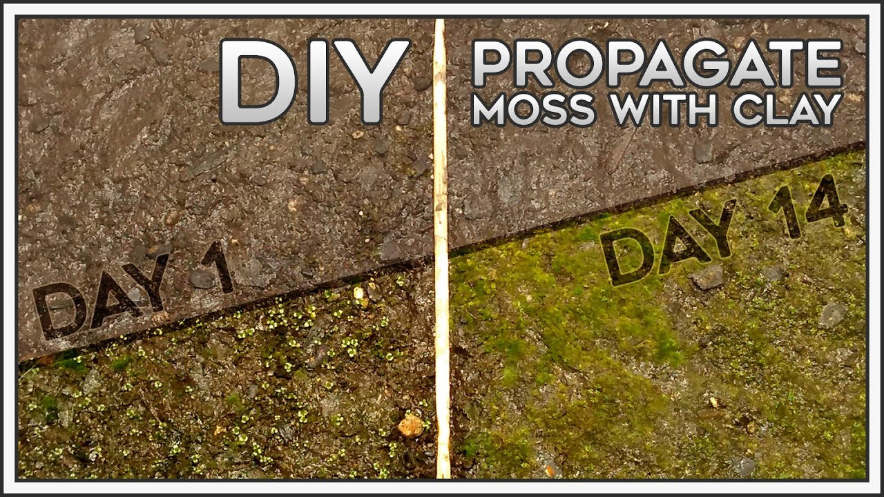 Diy Propagate Moss With Clay Youtube