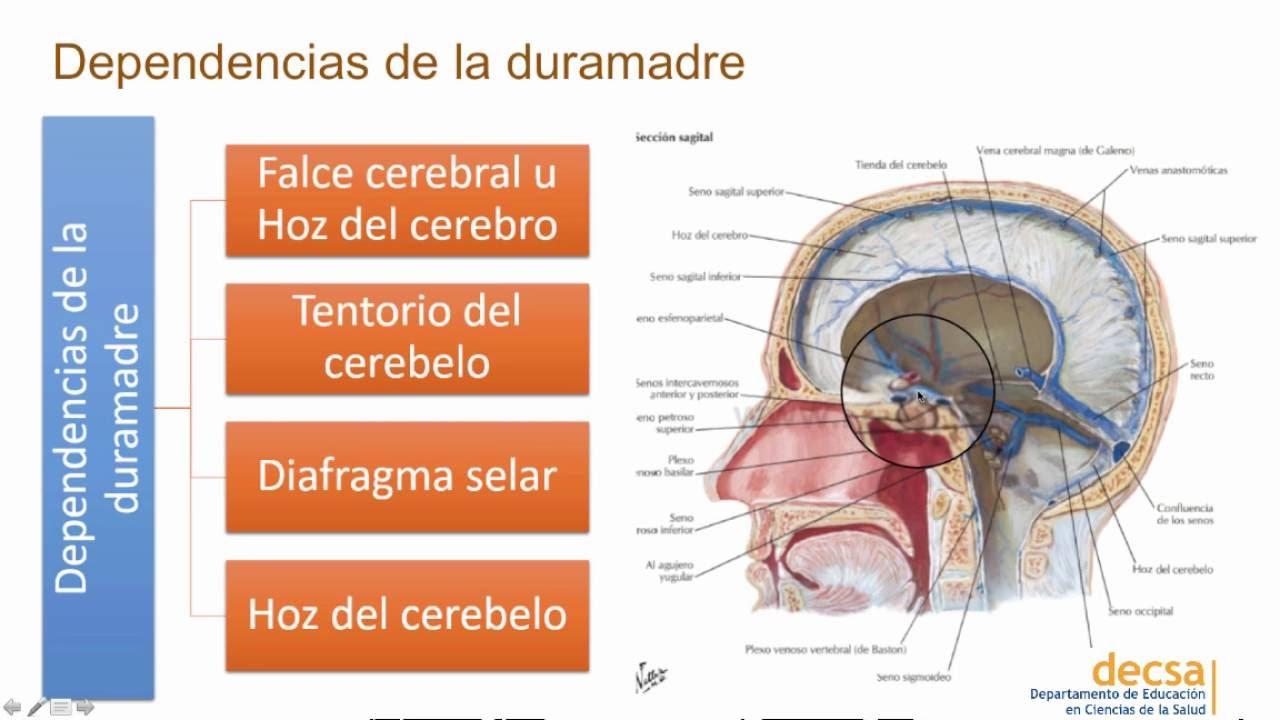Anatomía - Meninges, LCE y cavidades ventriculares - YouTube