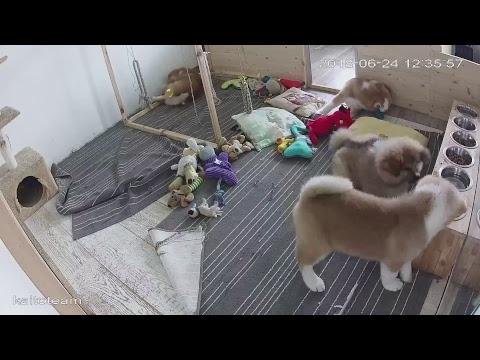 ЩЕНКИ #АКИТА ОНЛАЙН   #AKITA PUPPIES ONLINE   PET 犬   DAY 72