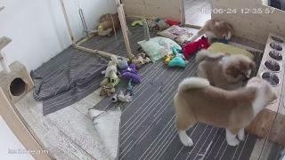 ЩЕНКИ #АКИТА ОНЛАЙН | #AKITA PUPPIES ONLINE | PET 犬 | DAY 72
