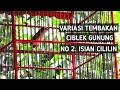 Variasi Tembakan Ciblek Gunung Cigun Gacor No  Isian Cililin  Mp3 - Mp4 Download