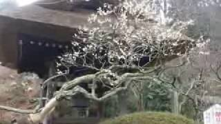 縁切り寺 駆け込み寺 梅 #東慶寺 #鎌倉市 #神奈川 観光一日目5 Japan Kamakura temple Tokeiji  Kanagawa