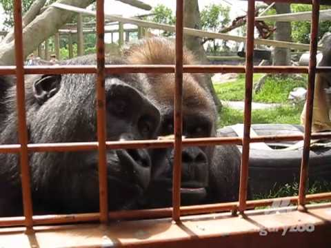 Gorillas entertained by a caterpillar