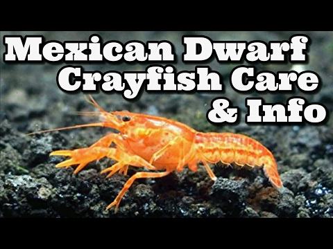 Mexican Dwarf Crayfish Care And Information