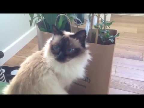 Birman pedigree show cat boris trying to eat plants, clemat