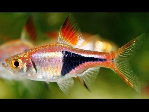 Species Profile # 17: The Harlequin Rasbora (Trigonostigma Heteromorpha )