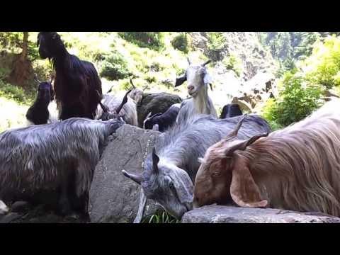 Goats in Kashmir