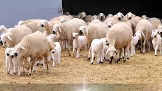 Kangal Akkaraman Koyun Irkı Özellikleri