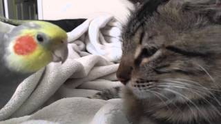 Kit the cockatiel singing and talking to the cat, Henry.