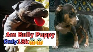 American Bully Puppy Sale With Phone Number And Full Information