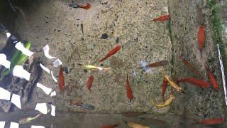Cho cá bảy màu ăn viên tảo chuyện gì xảy ra [mê cá bảy màu ]