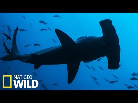 Requin tigre attaque Requin marteau