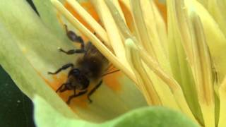 Пчёлы собирают нектар
