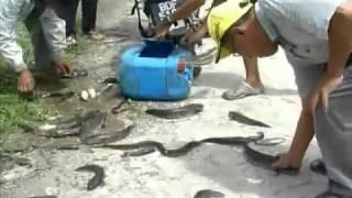 Padi SRI : Cara Tangkap Ikan Haruan Guna...