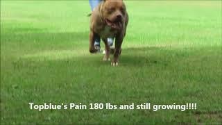 Pitbull Attacks, Biggest Pitbull Puppy In The World