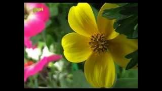 Allinger Kertészet virágai - Sarkad, 2011 Thumbnail
