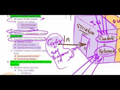 Basal Ganglia - Function, Input and Output 2