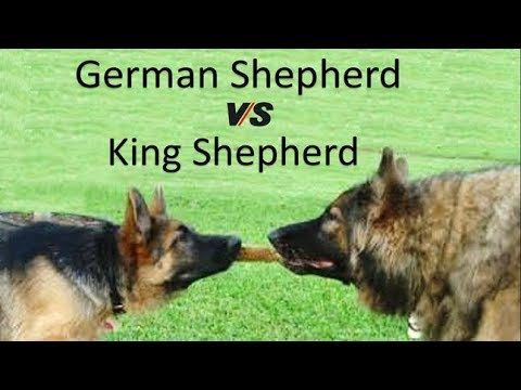 German Shepherd Vs King Shepherd (Breed Info and Comparison)