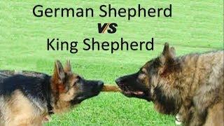 German Shepherd Vs King Shepherd (Breed Info and Comparison)