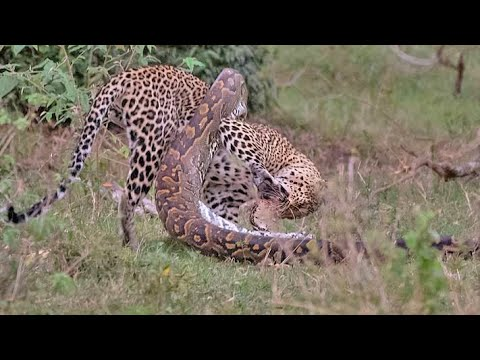 Python Constricts Leopard As It Fights Back!
