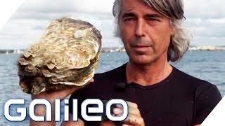 Austern so gross wie Hühner - der Herr der Riesenaustern | Galileo | ProSieben