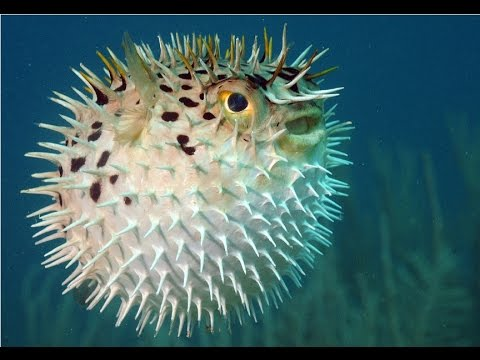 Amazing facts about the puffer fish youtube for Puffer fish images
