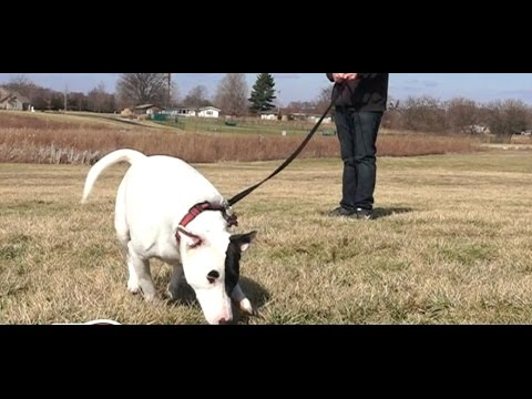 Best Dog Trainers in Columbus, Ohio! 2 Year Miniature Old Bull Terrier, Dakota!