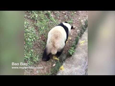 The famous Panda Princess Bao Bao dancing and talking (寶寶)