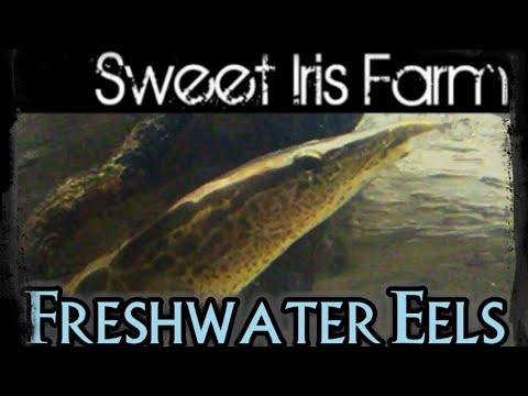 Freshwater Eels - Spiny Eels