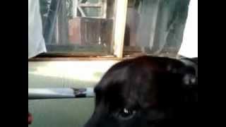 Kye The Staffordshire Bull Terrier On A Treadmill