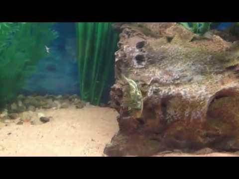 Dwarf Puffer Fish Feeding
