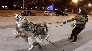 Хаски против стаи собак / НОЧНЫЕ ВОЛКИ НА ПРОГУЛКЕ