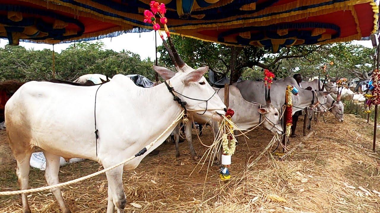 Janivara bulls in Bookanabetta cattle fair