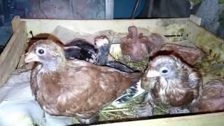 Минеральная добавка для правильного роста птенцов. 100% результат.