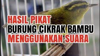 Suara Khusus Pikat Burung Cikrak Bambu Terbaru