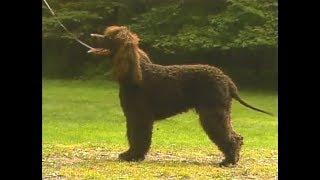 Irish Water Spaniel - Perro de Agua Irlandés - アイリッシュ・ウォー...