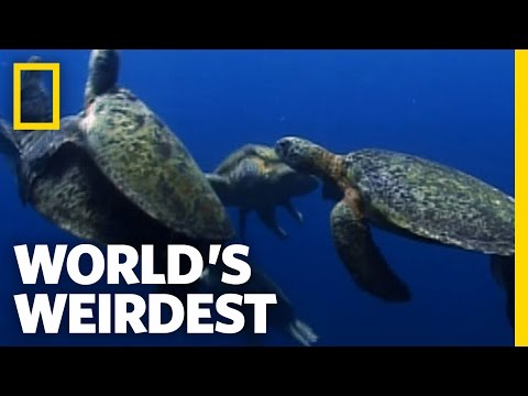 Sea Turtle Mating Melee | World